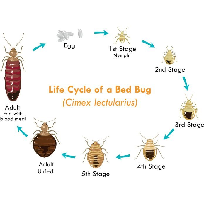 lifecycle of a bed bug diagram