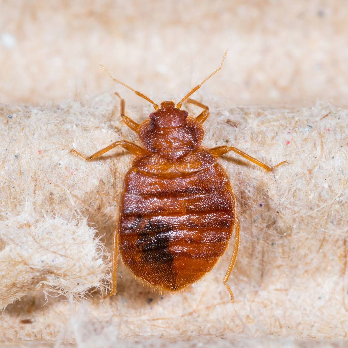 Bed Bugs in Apartments