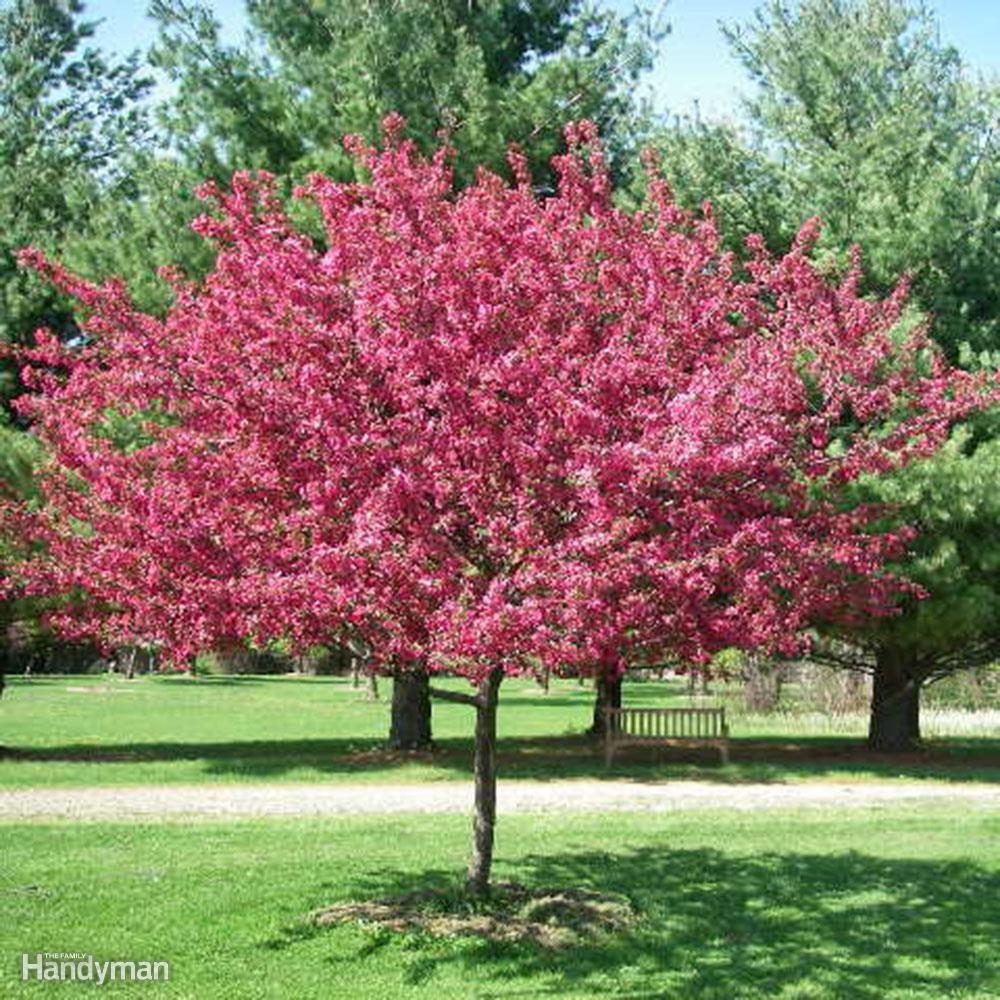 Great trees to consider planting in your yard this spring for Crabapple tree