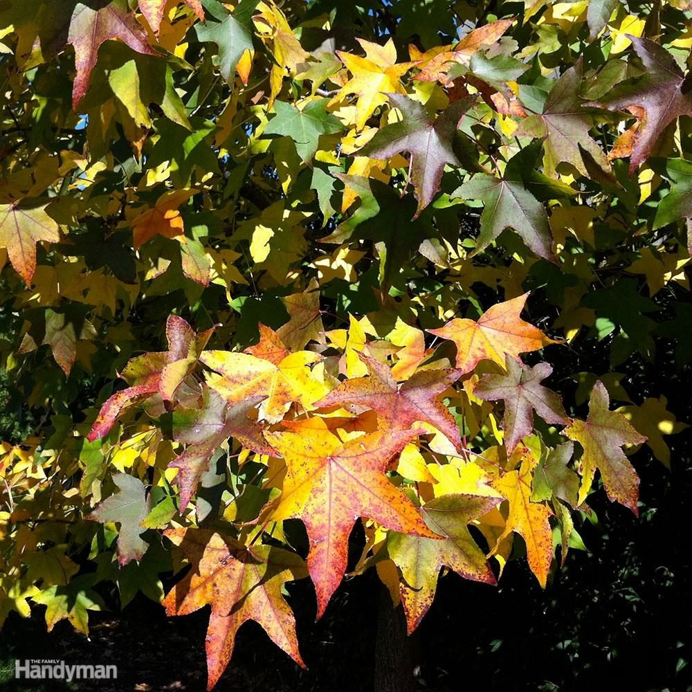 Good Front Yard Trees: Sweet Gum