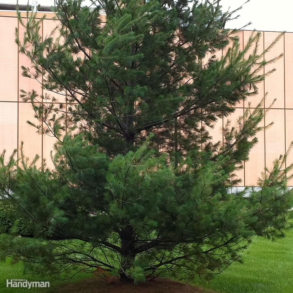 Best Trees for Backyard: Eastern White Pine