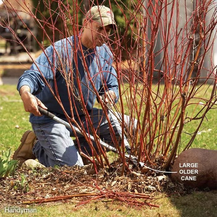 Prune One-Third of a Bush's Canes