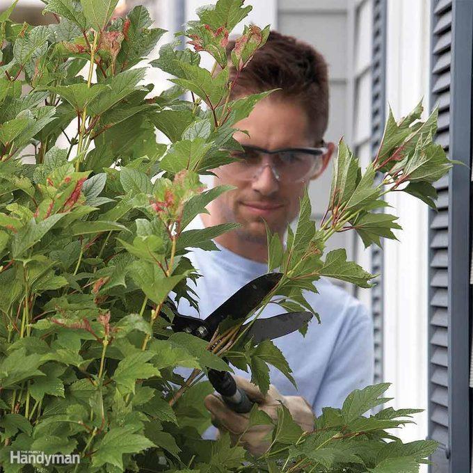trim shrubs