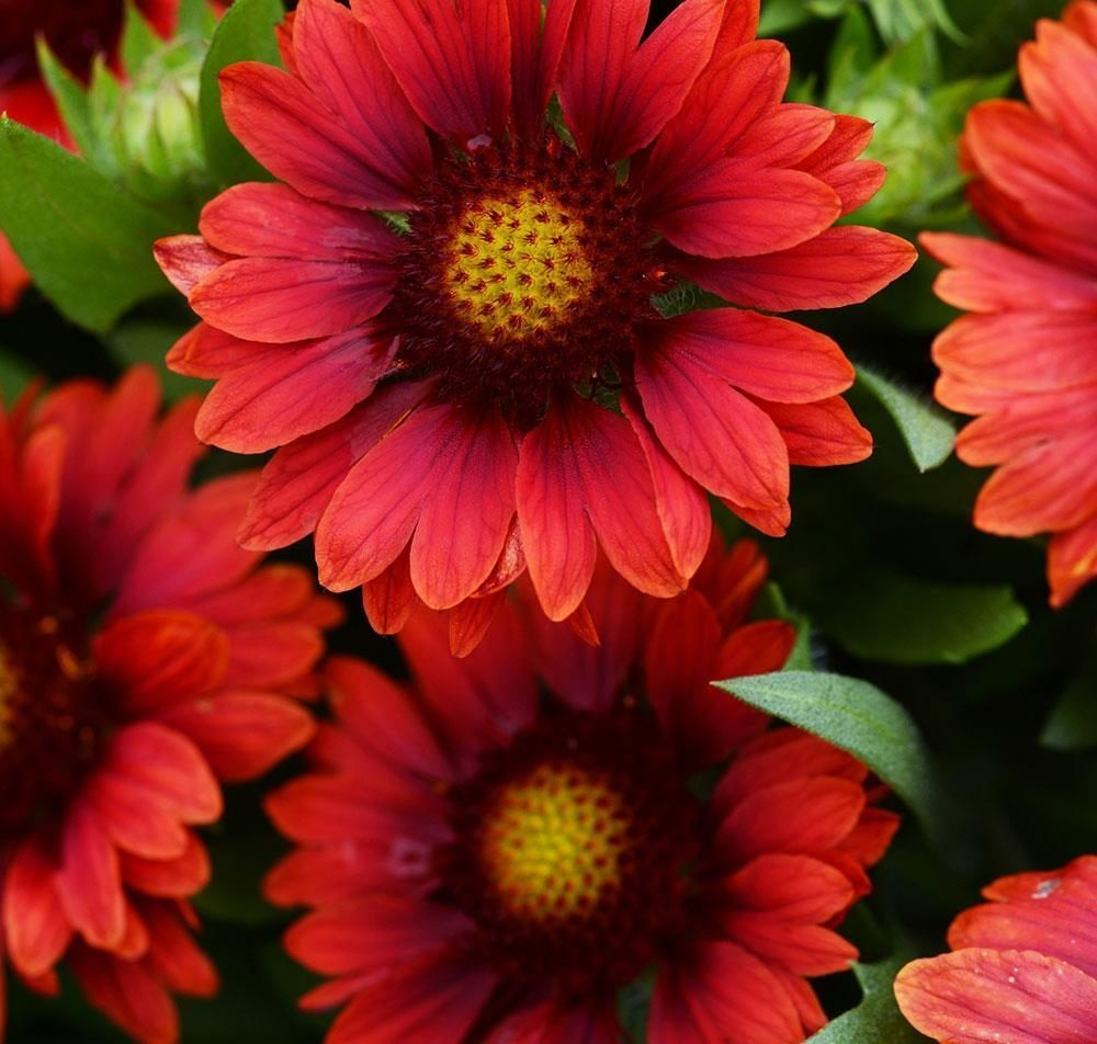 gaillardia_mesa_red_bloom_12191