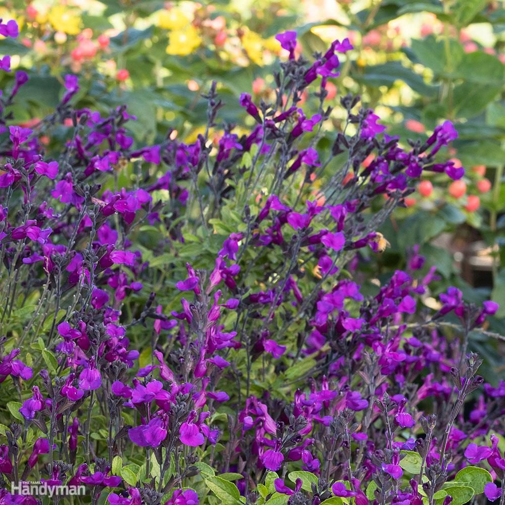 Ignition Purple Salvia