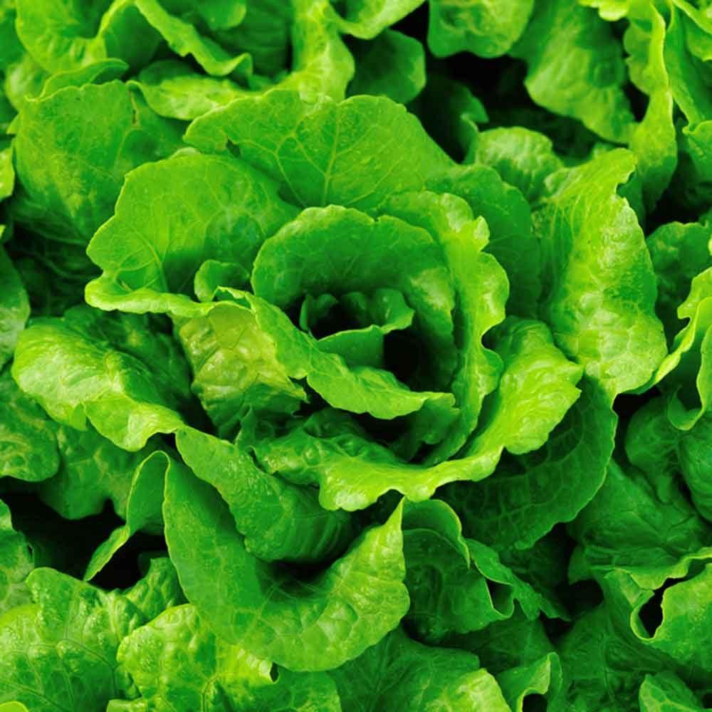 Jade Gem Lettuce
