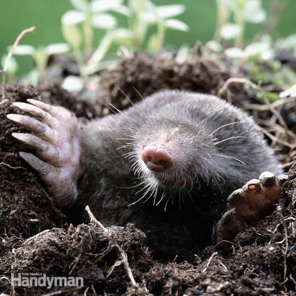how to catch ground moles