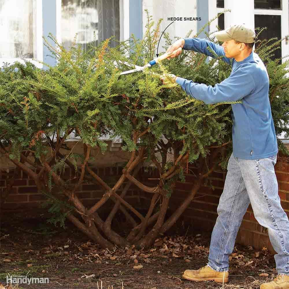 Bush Pruning Tips For Healthier Bushes Family Handyman