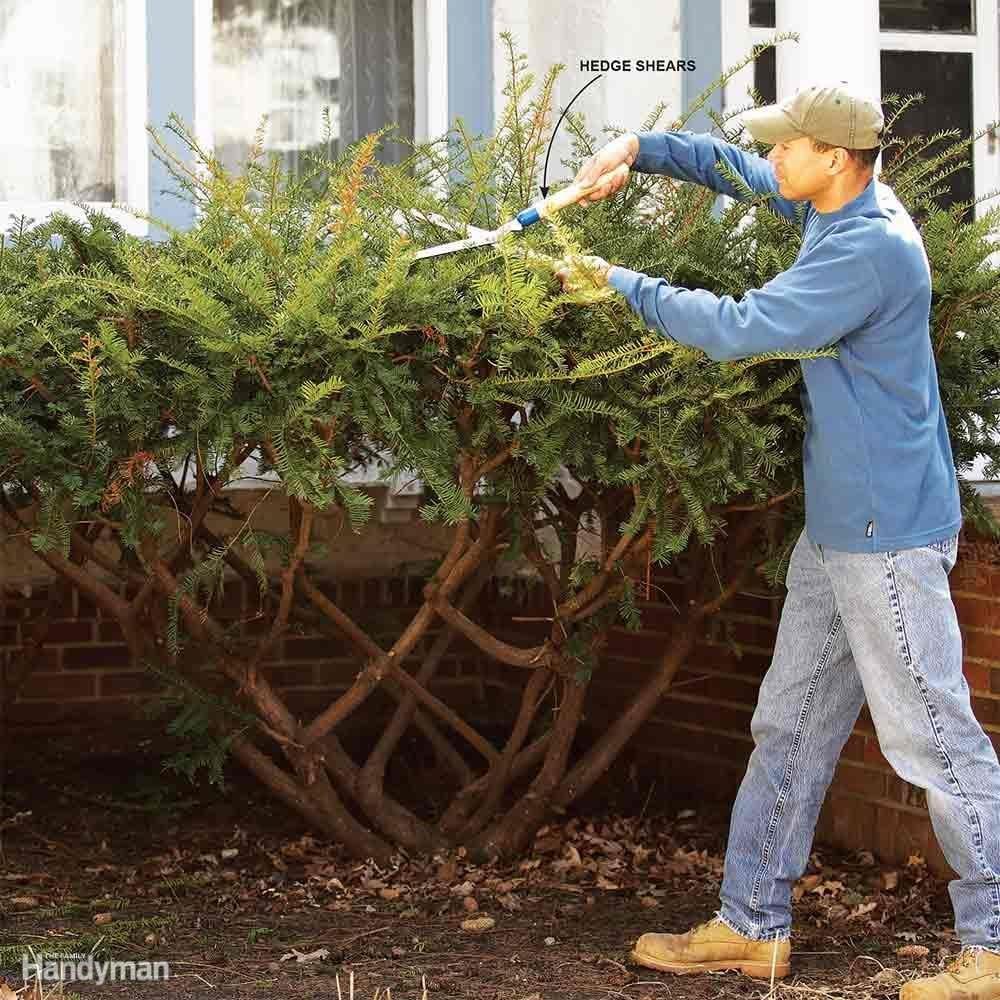 Bush Pruning Tips For Healthier Bushes Family Handyman
