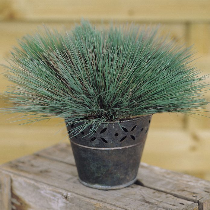 ColorGrass Spiky Blue Corynephorus