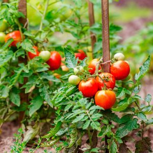 Five Ways to Grow Tomatoes