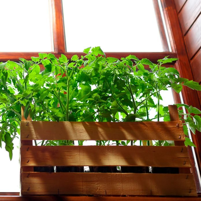 grow tomatoes in a window box