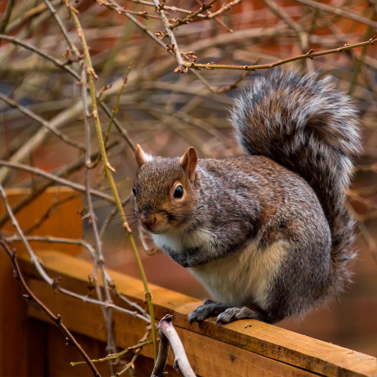 squirrel on garden fence