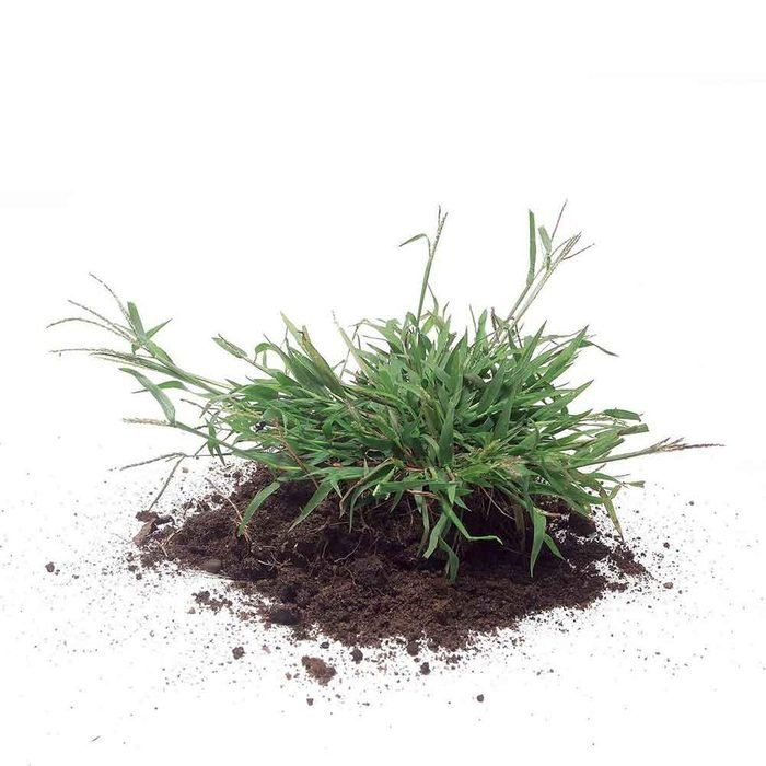 How to grow greener grass magic bullet # 3. Kill crabgrass before it spreads