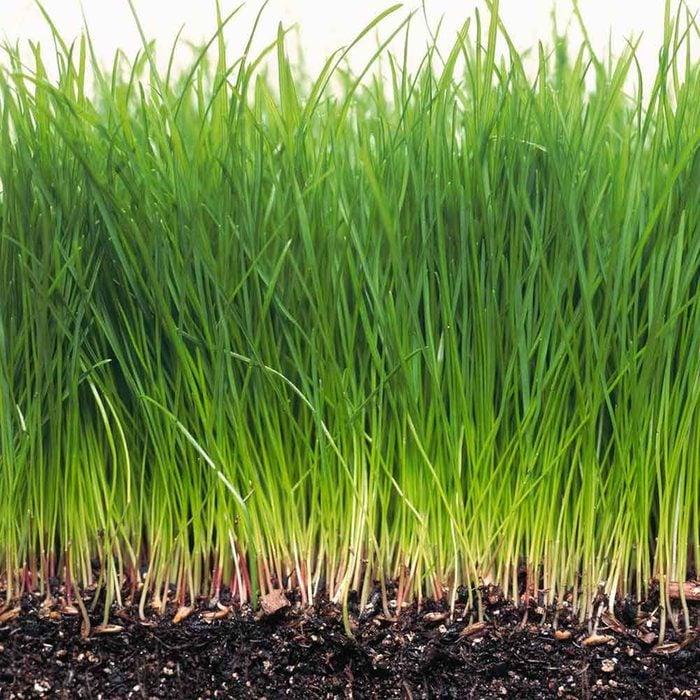 Grow Greener Grass thick grass growing tips