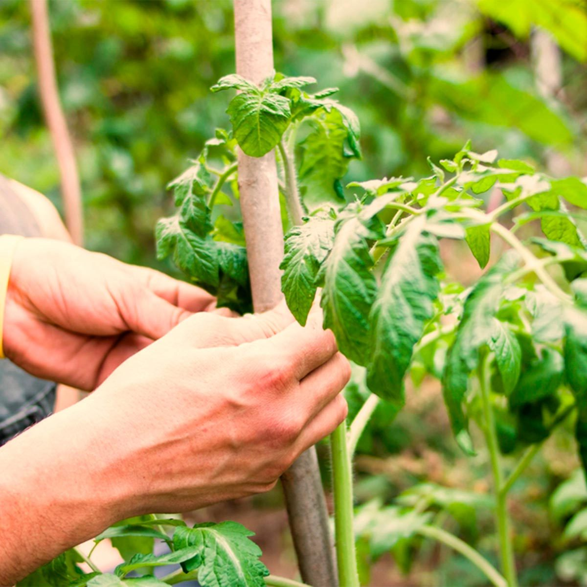 tying plants to support with floss