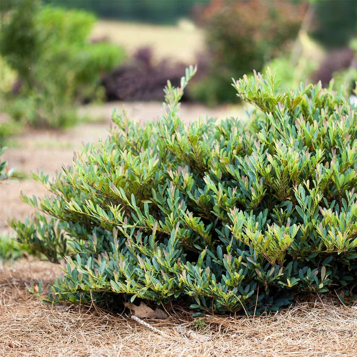 11 Sparkling Shrubs For Todays Yards The Family Handyman