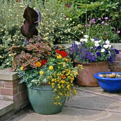 Coleus and Canna summer plants flowers late summer blooming flowers