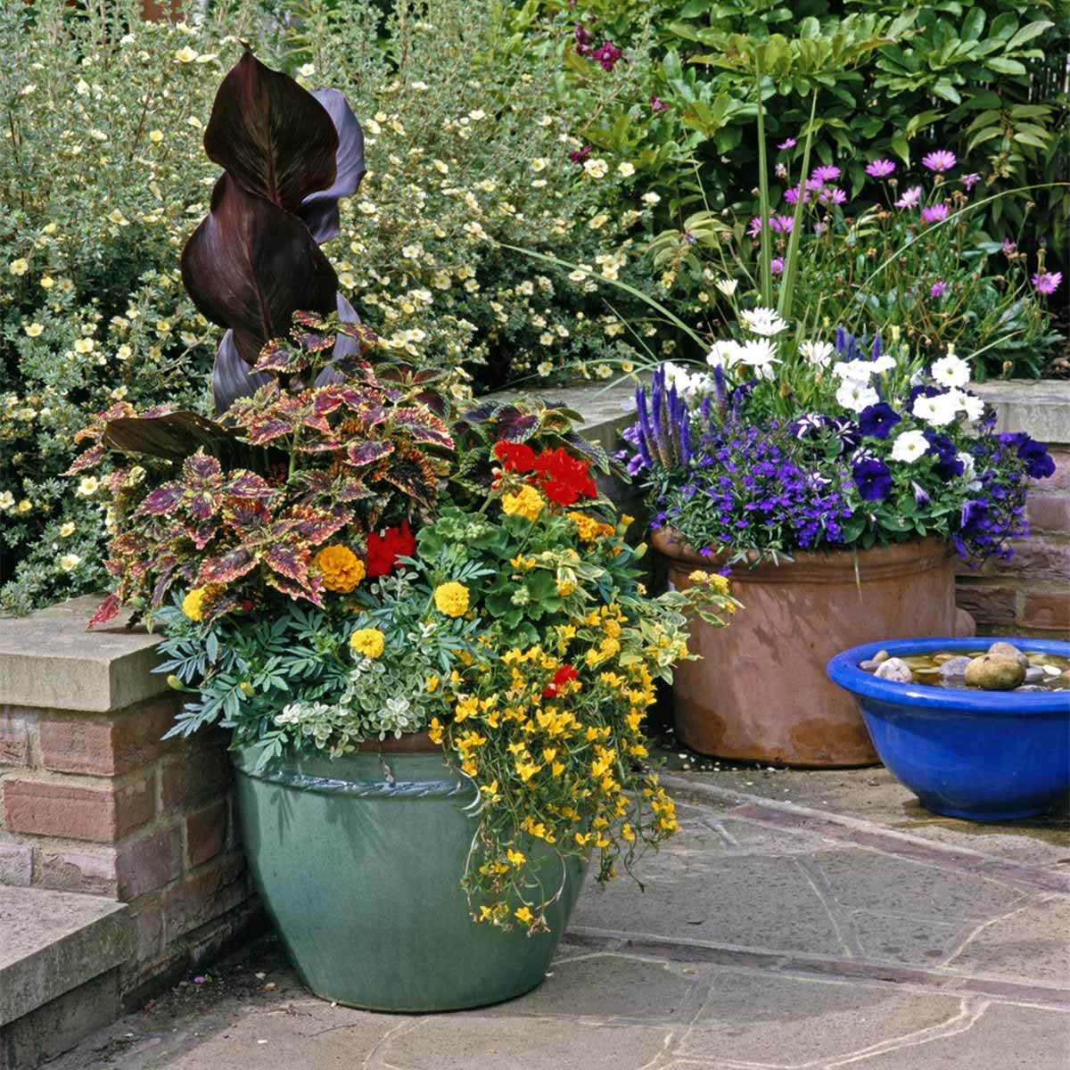 Coleus and Canna