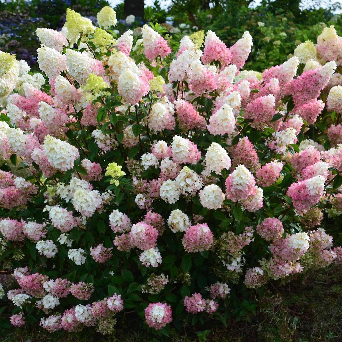 Strawberry Sundae Hydrangea