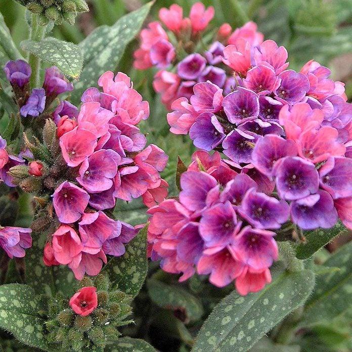 shade tolerant purple flower