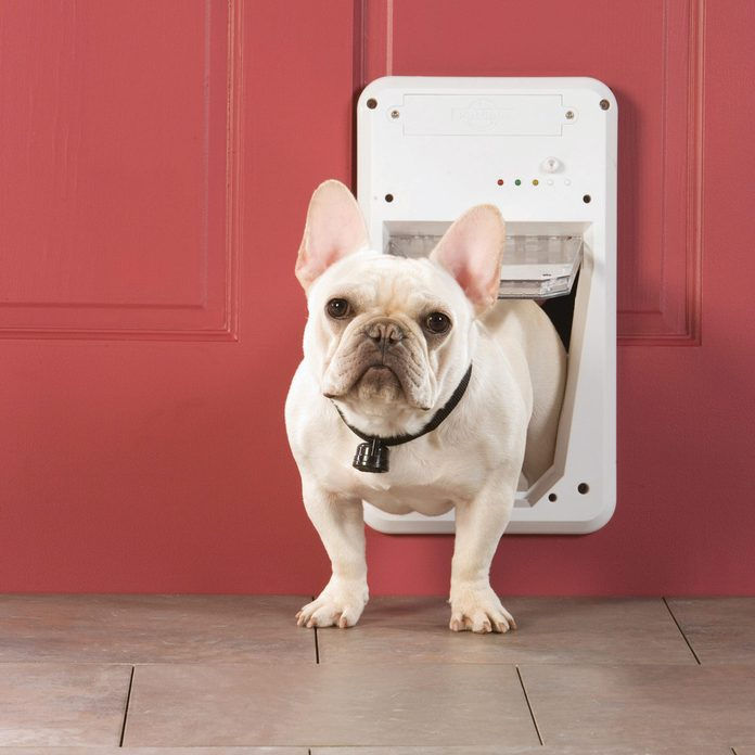 FH10JUN_509_56_M01 french bulldog in doggy door
