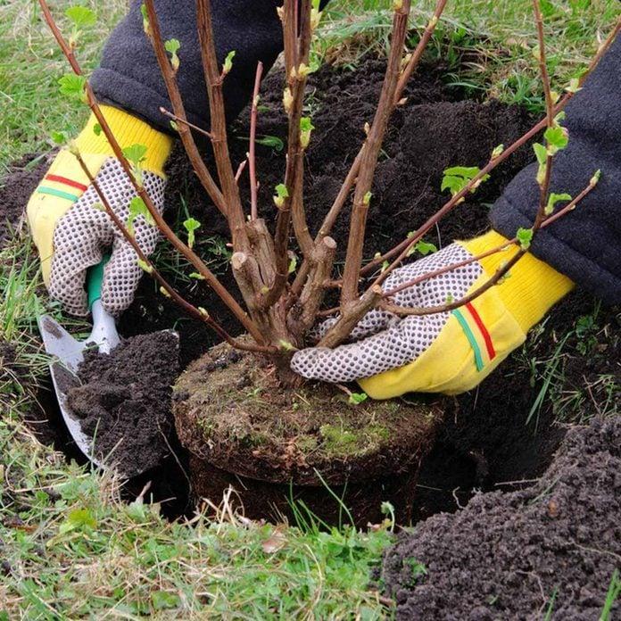 plant shrubs and bushes planting gardening