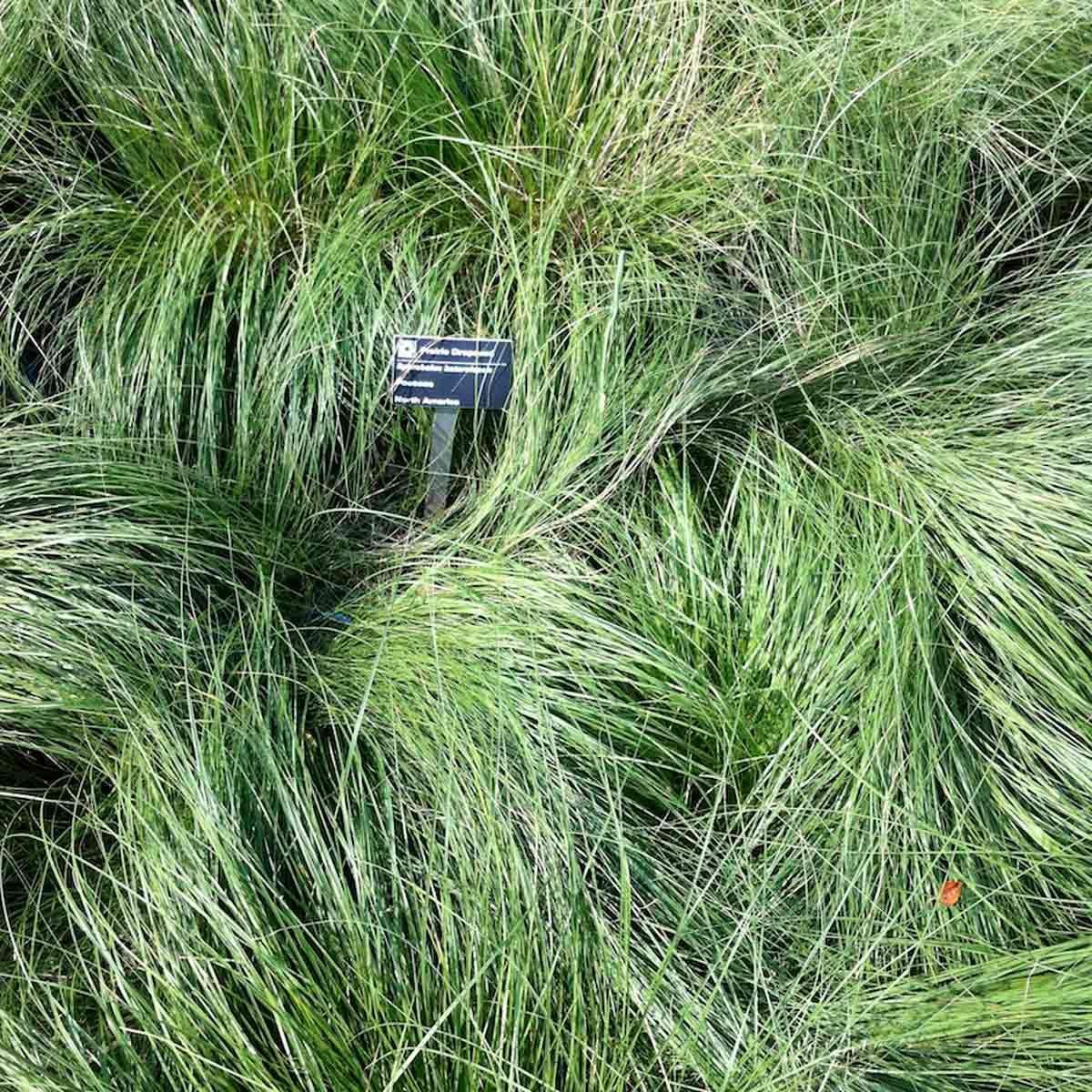 Prairie Dropseed