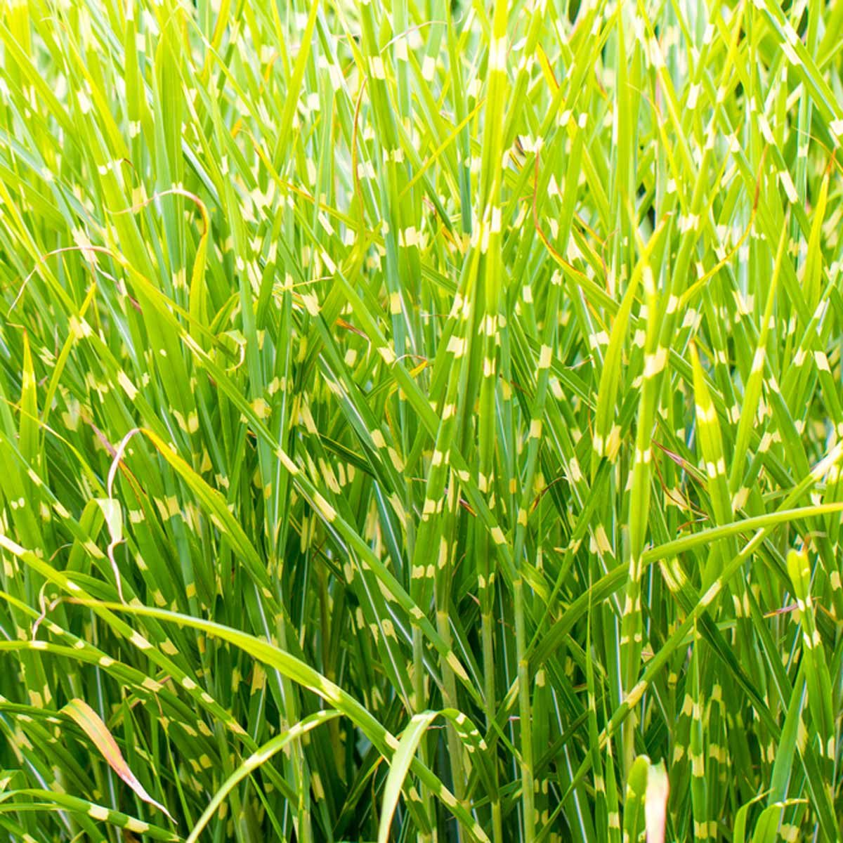 Ornamental grasses you should get to know the family for Tall green ornamental grass