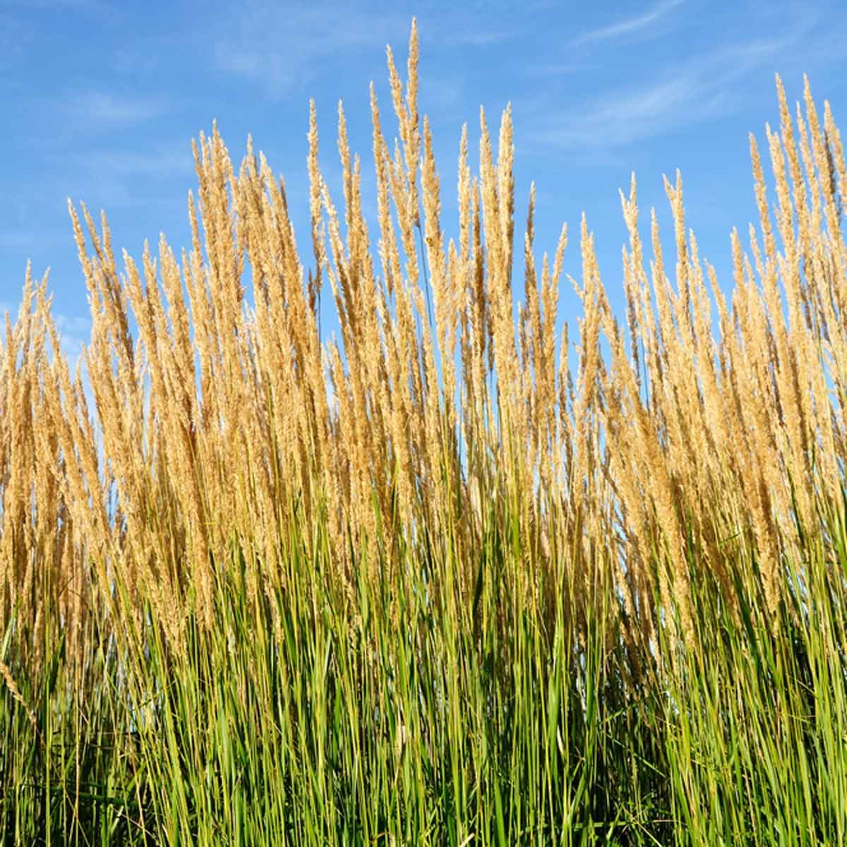 Ornamental grasses you should get to know the family for Tall feather grass