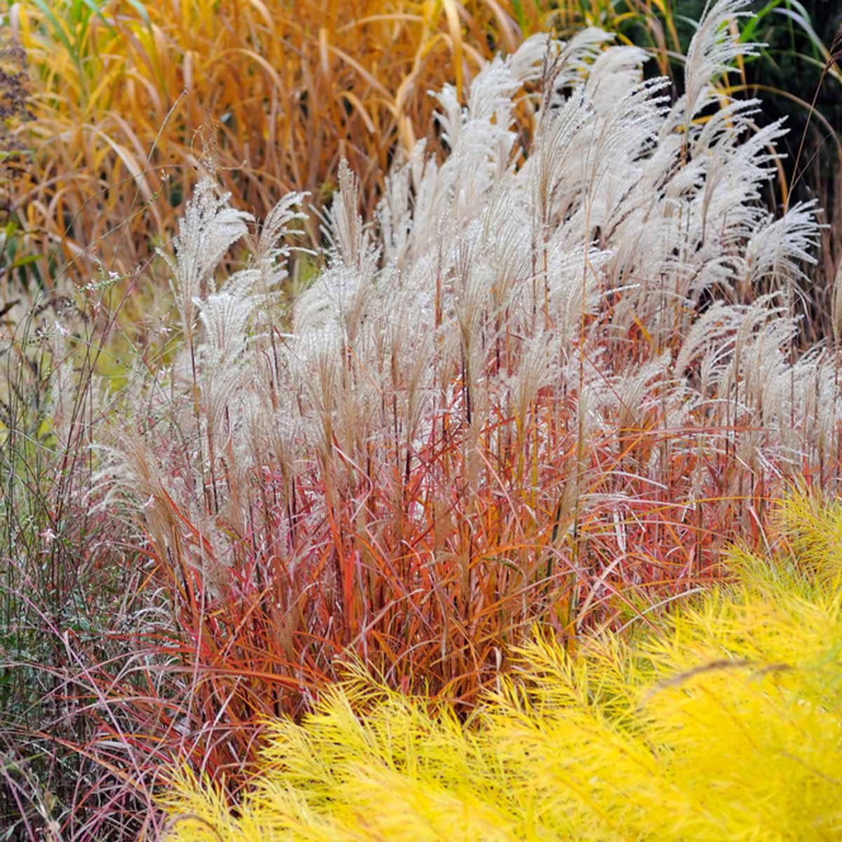 Ornamental grasses you should get to know the family for Ornamental lawn grass