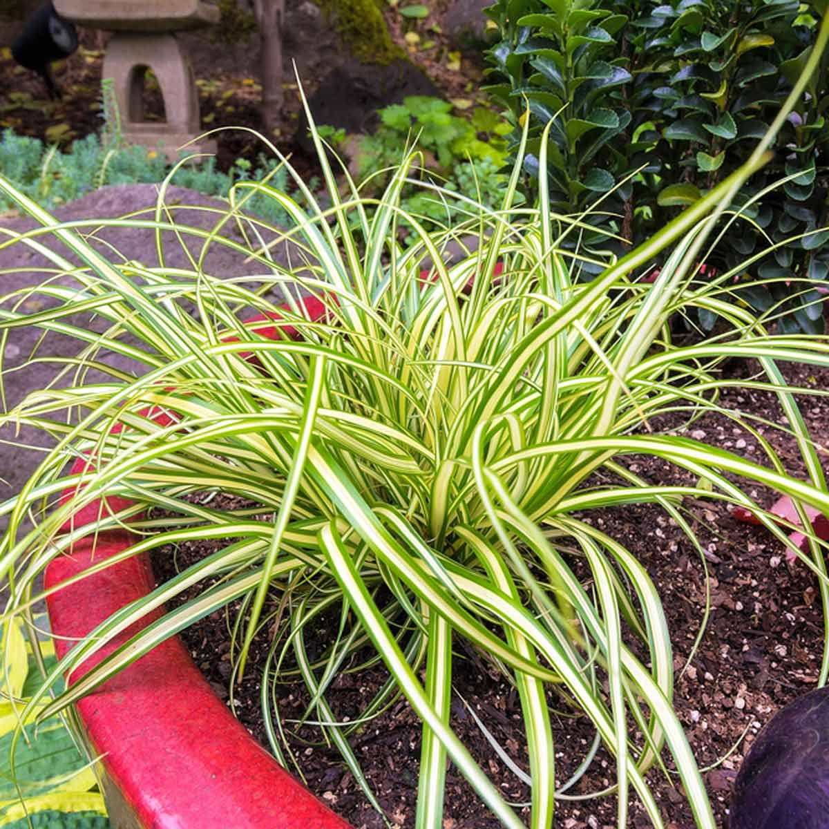 Ornamental grasses you should get to know the family for Blue ornamental grass varieties