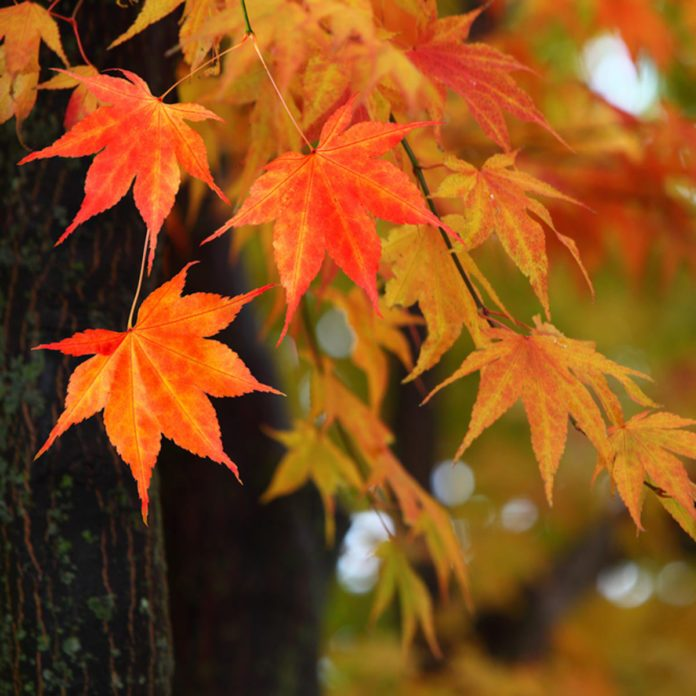 11 Trees With Great Fall Foliage