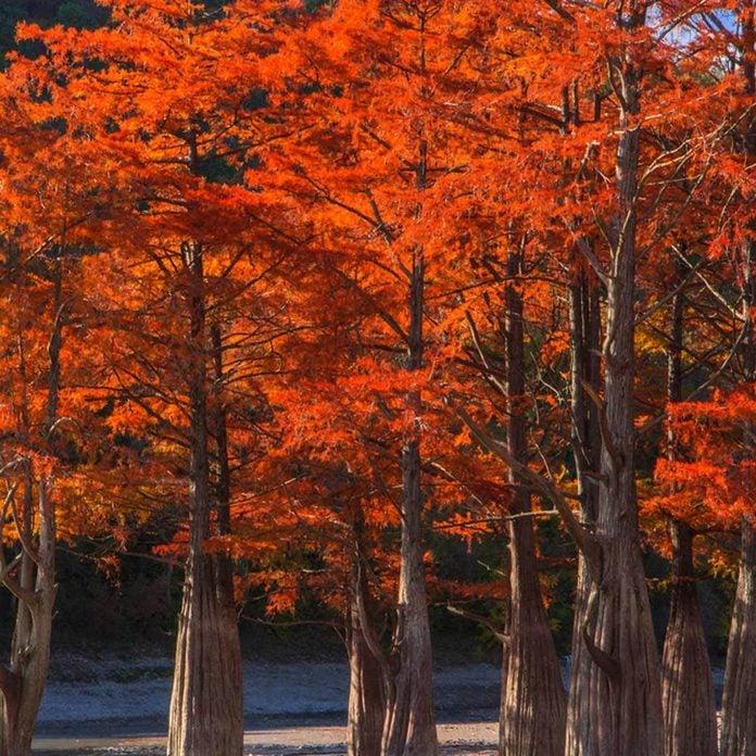 shutterstock_516605467 bald cypress trees