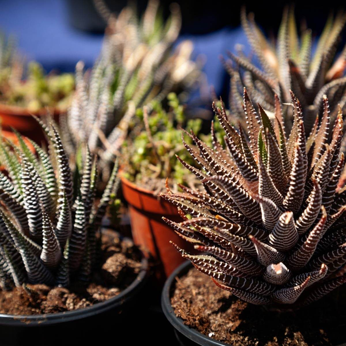 dfh12_shutterstock_651497608 succulents cactuses
