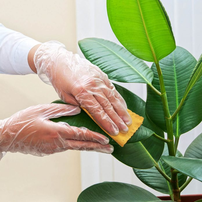 dfh4_shutterstock_117271666 dust clean house plant leaves