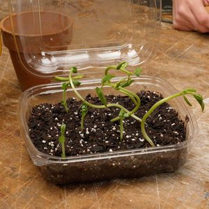 seedlings growing in plastic clamshell container from salad bar