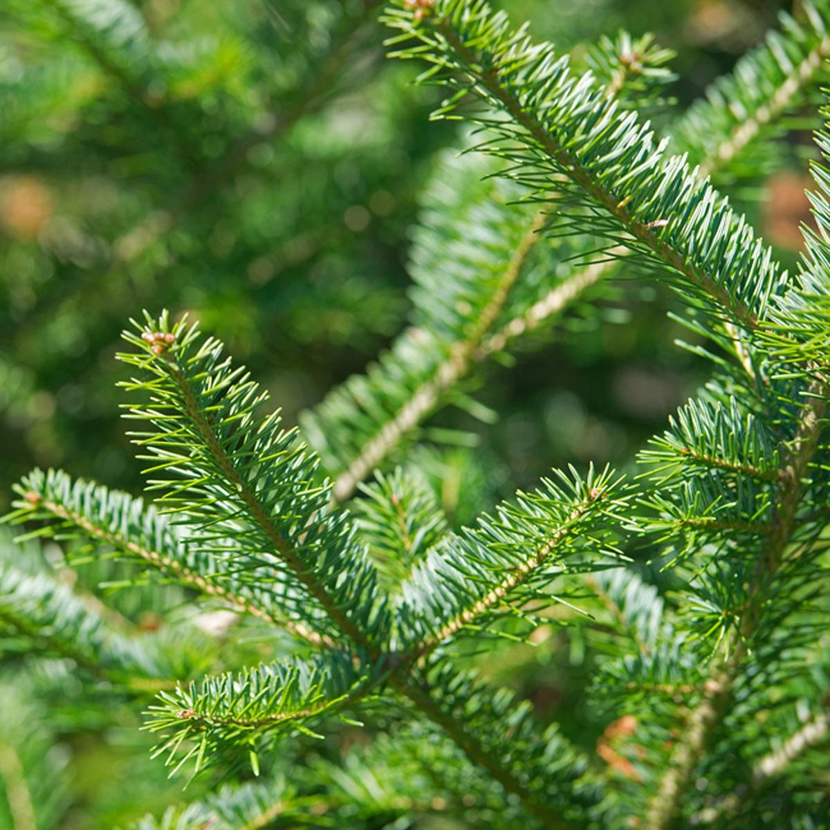 The 10 Best Real Christmas Tree Species — The Family Handyman
