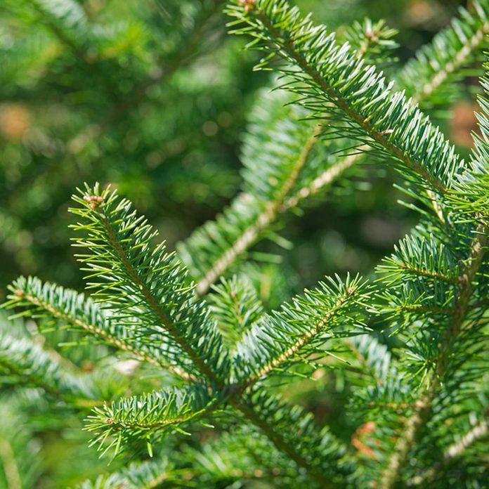 Balsam fir (Abies balsamia)