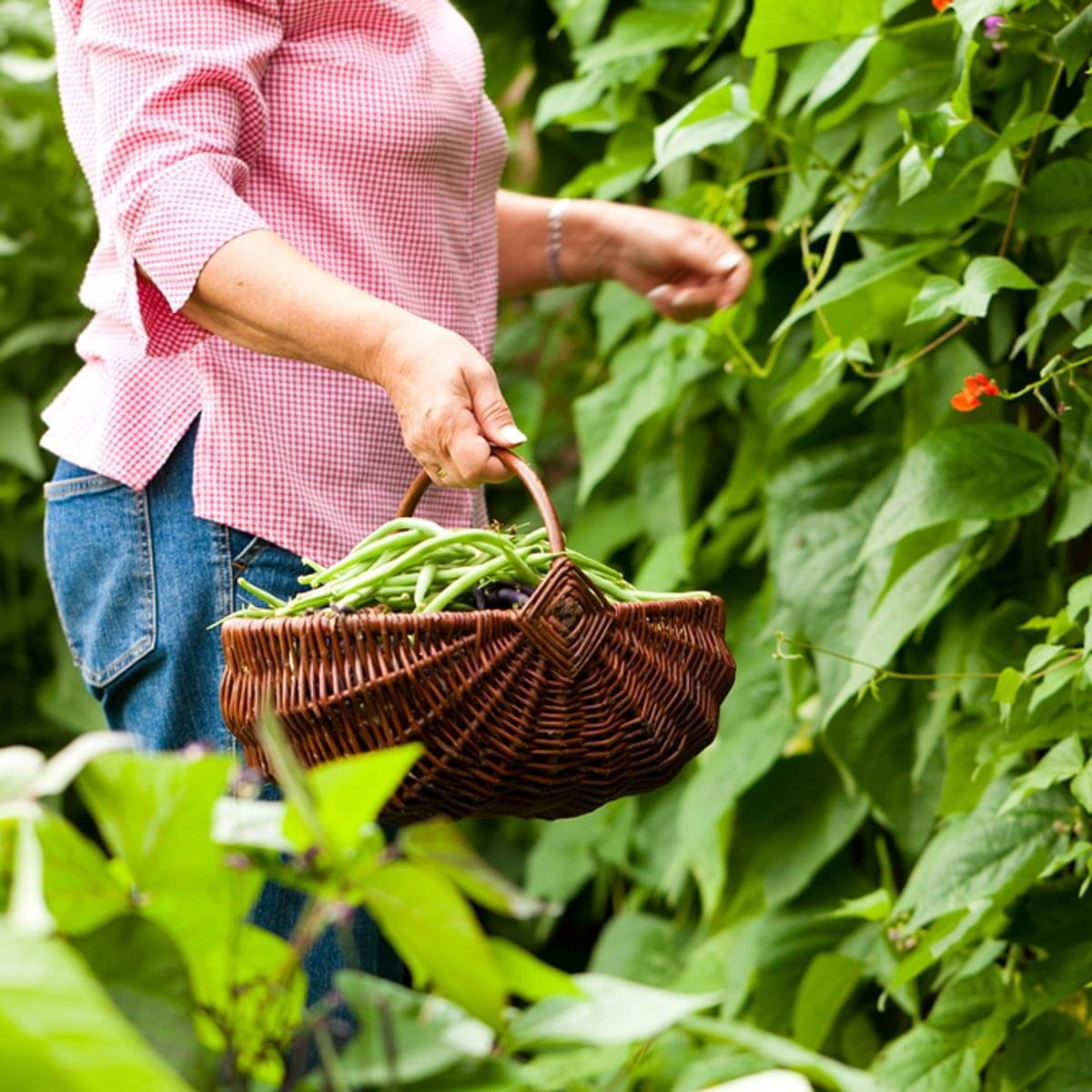 gathering basket_77743069_04 gardening collecting green beans-gifts-for-gardeners gifts for gardeners garden gifts