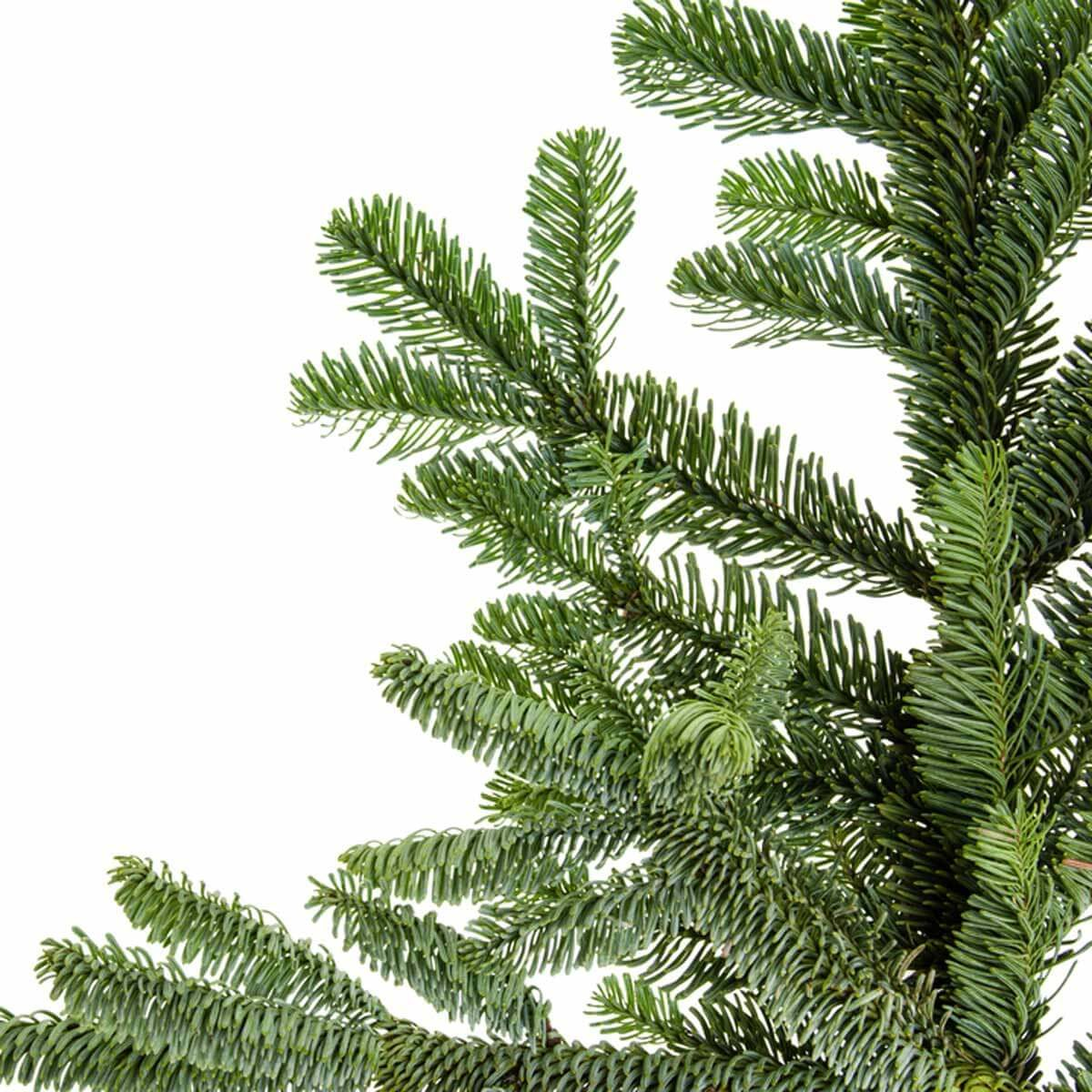 noble fir abies procera rehd