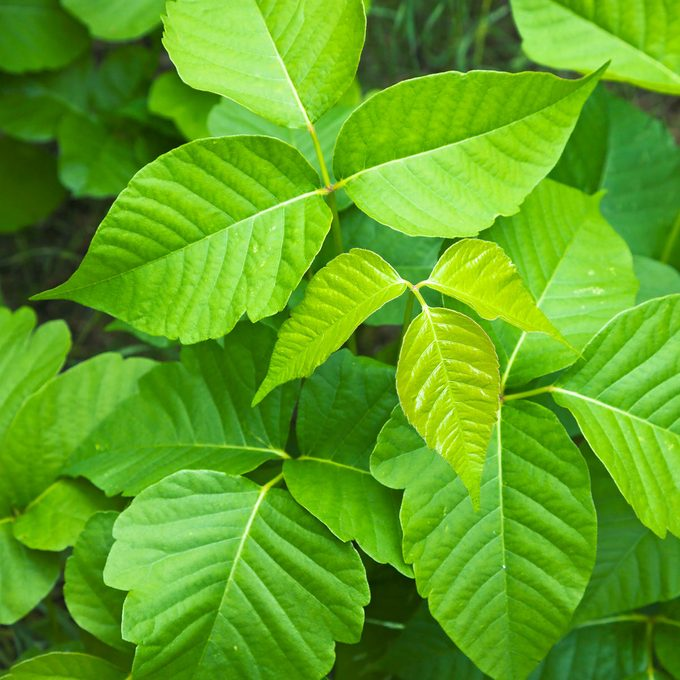 Treat Poison Ivy Stings