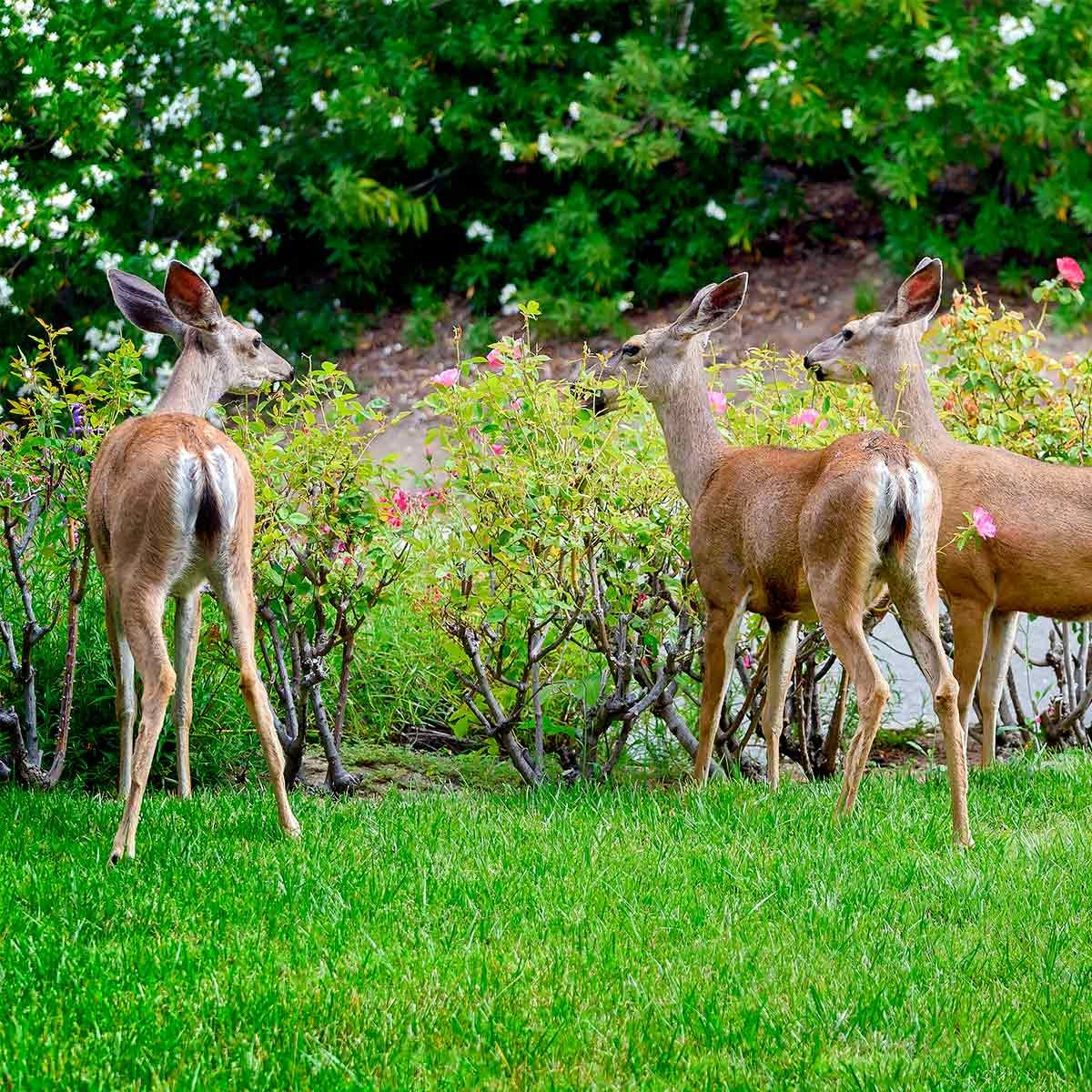 deer on lawn