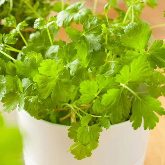 herbs to grow cilantro