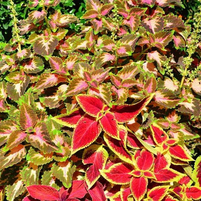 Coleus Shade Garden Plant