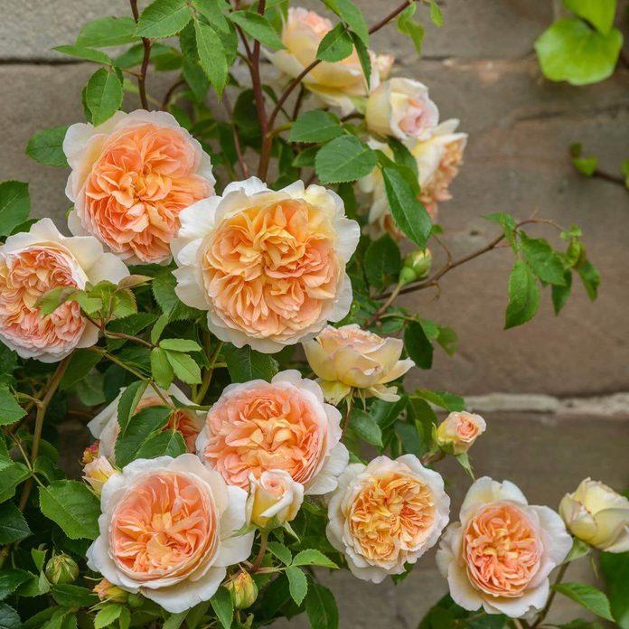 David Austin Rose Bathsheba Flower