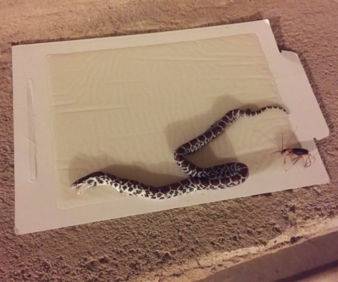 dead snake on tomcat glue board how to get rid of snakes