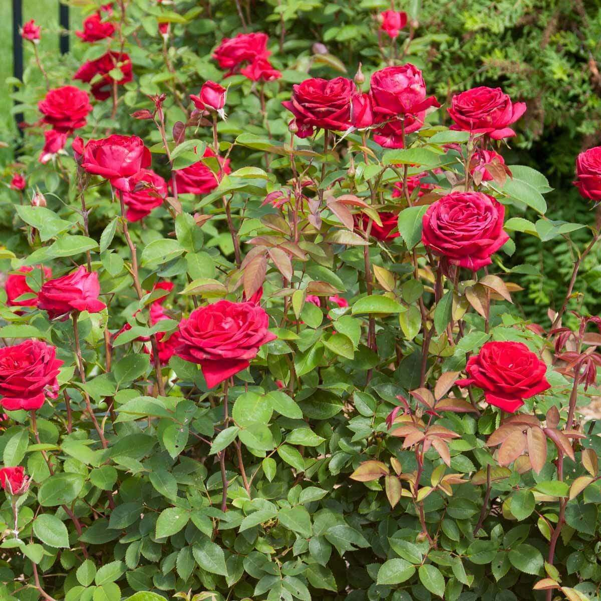 Roses: They\'re Not Your Grandmother\'s Needy Garden Plants Anymore ...