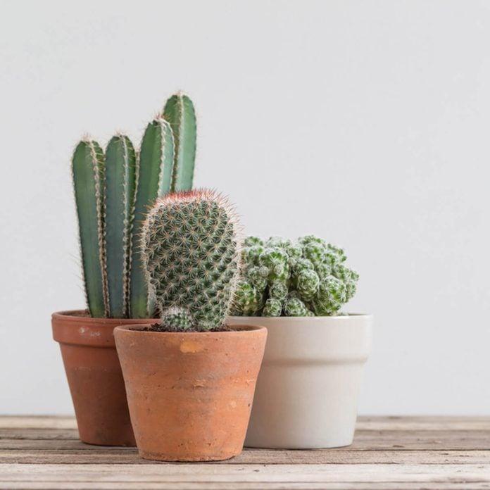Cactus Cacti in pots