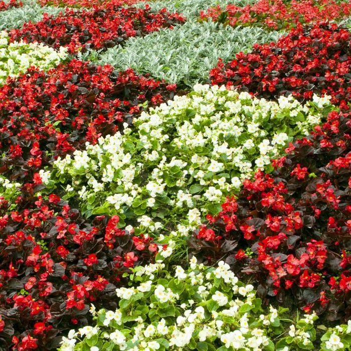 white and red checkered begonia garden